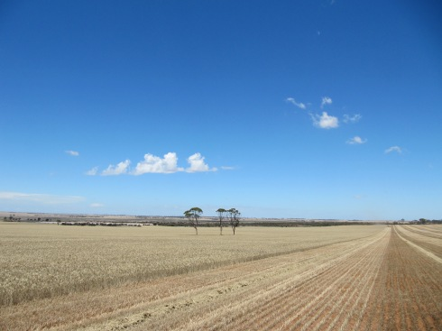 wheat paddock during harvest